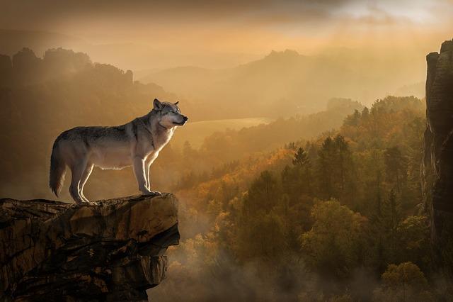 vlk na vrcholu hory